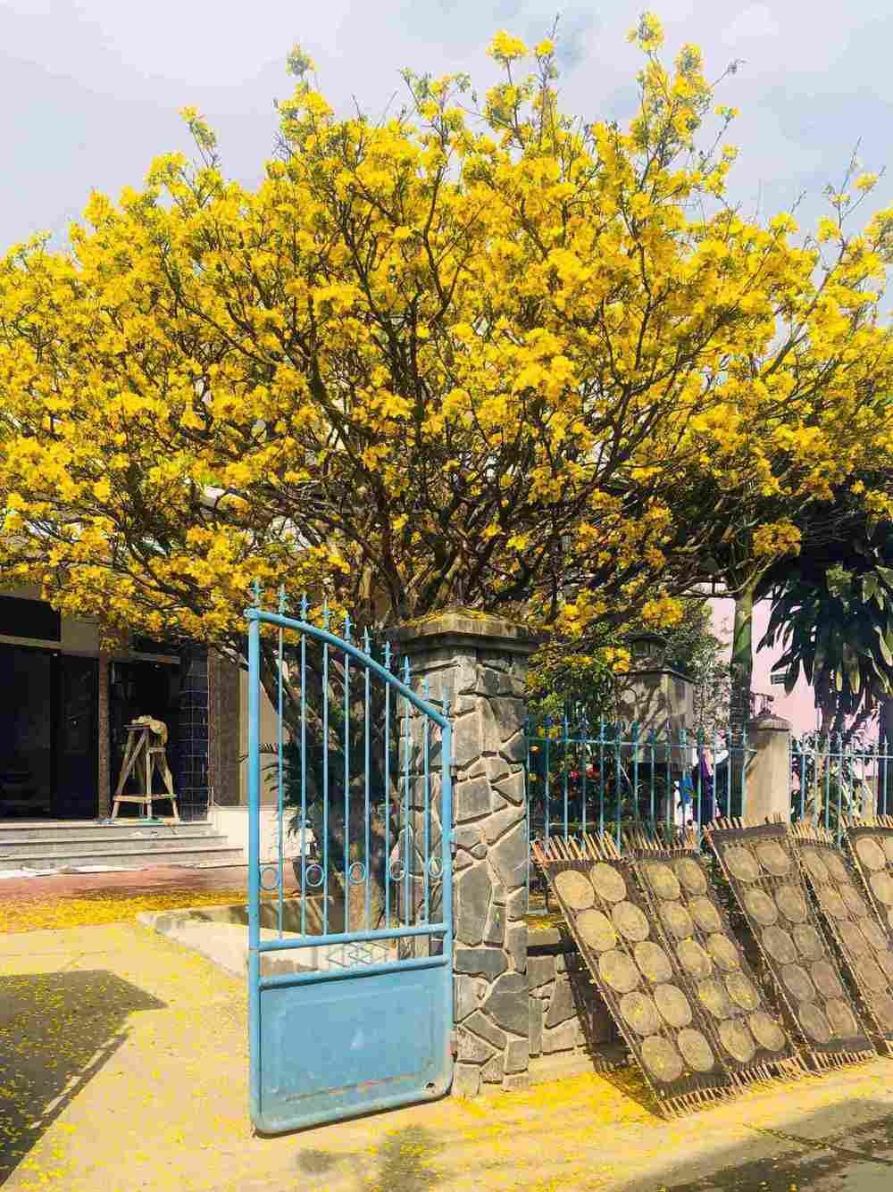 Cây mai hoa vàng