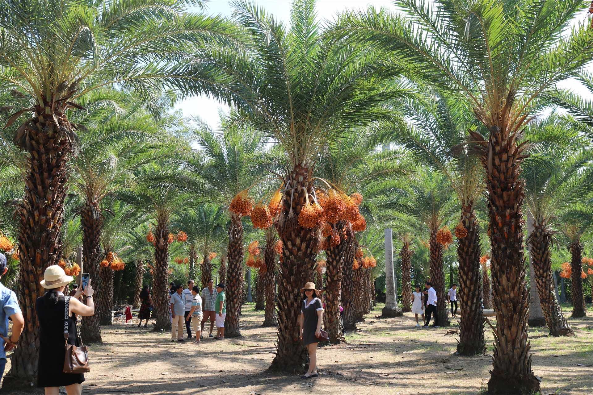khách thăm quan chụp ảnh vườn cây chà là