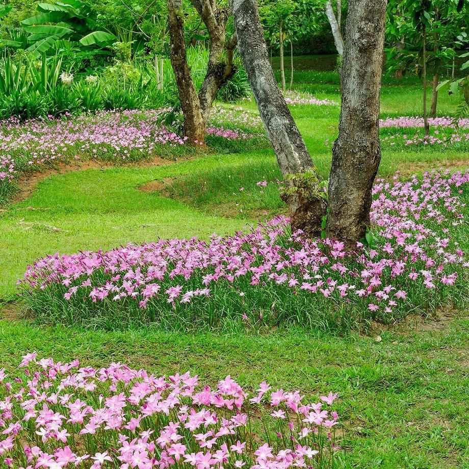 Vườn hoa tóc tiên