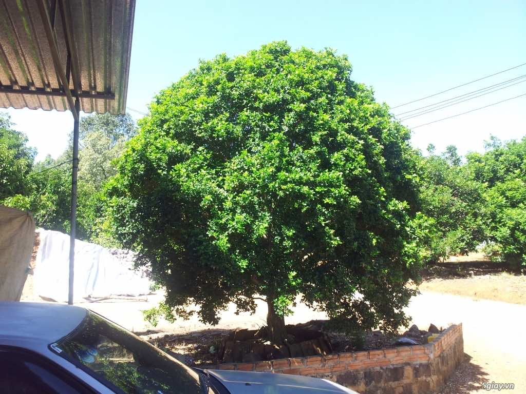 Cây nguyệt quế trồng trước nhà