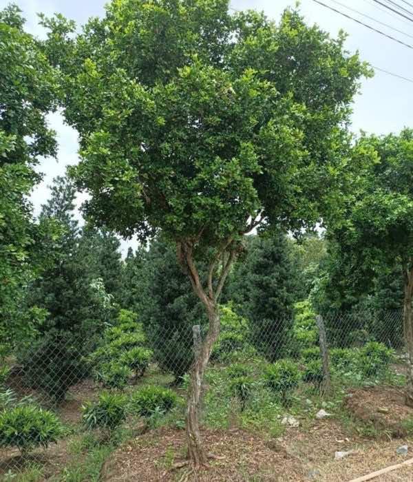 Cây nguyệt quế trồng vườn