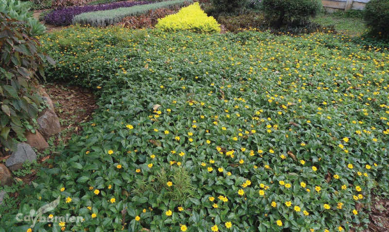 Cỏ xuyến chi trồng thảm