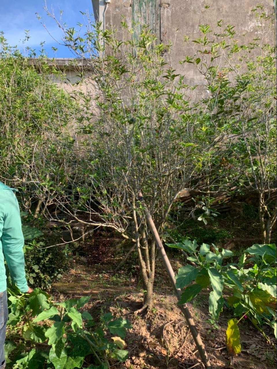 Mộc hương trồng làm cảnh và dược liệu