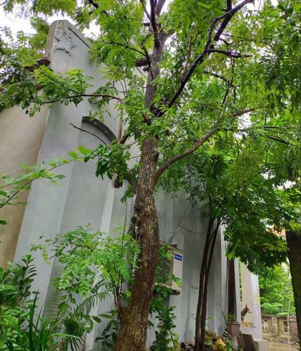 cây hòe dáng đẹp
