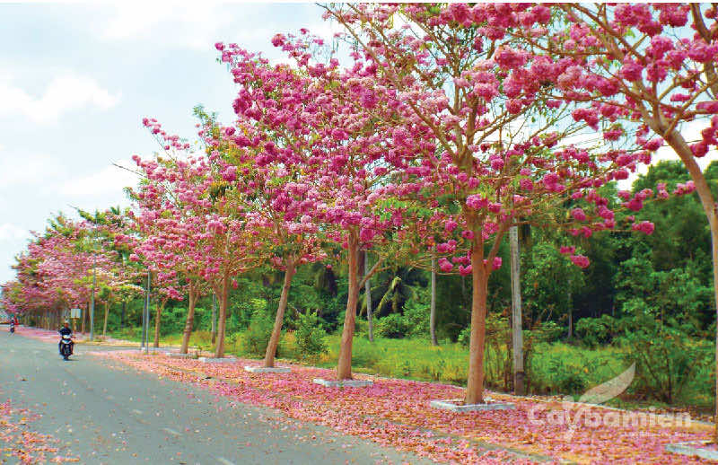kèn hồng nở hoa siêu đẹp