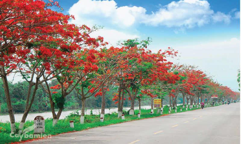 Hoa phượng vĩ nở rực 1 tuyến đường