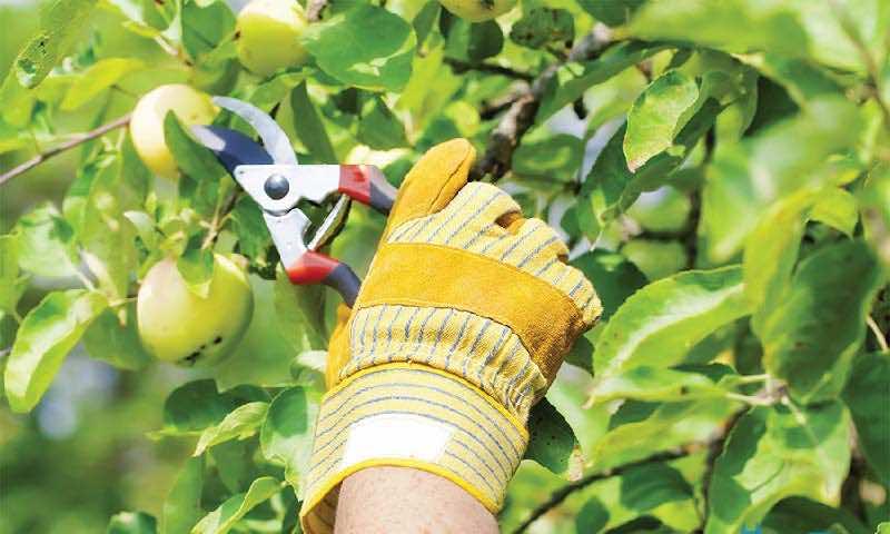 ảnh minh họa cắt tỉa cho cây ăn quả