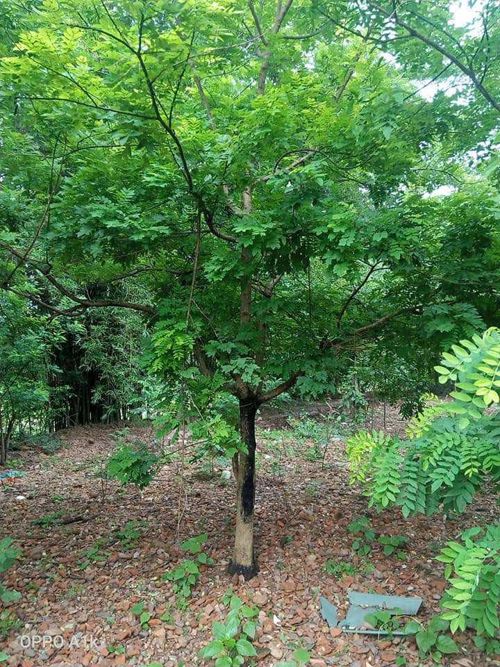 Hình ảnh cây hòe