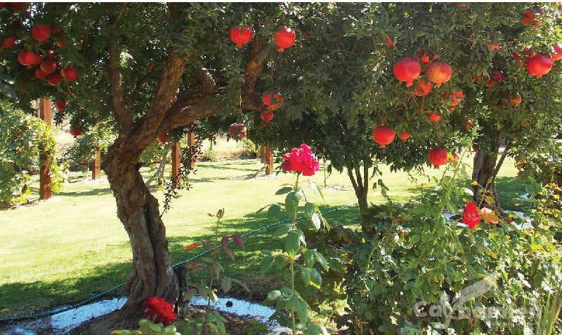 cây lựu cho trái sai
