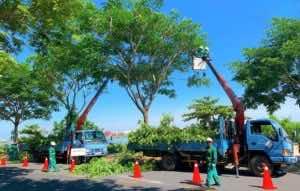 chặt cắt tỉa cây trước mùa bão