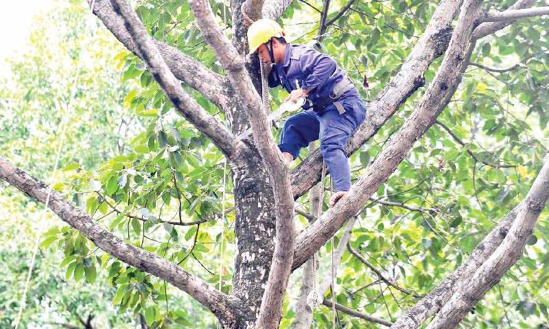 chặt cây cổ thụ