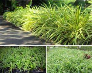 cây cỏ lan chi trồng viền công trình