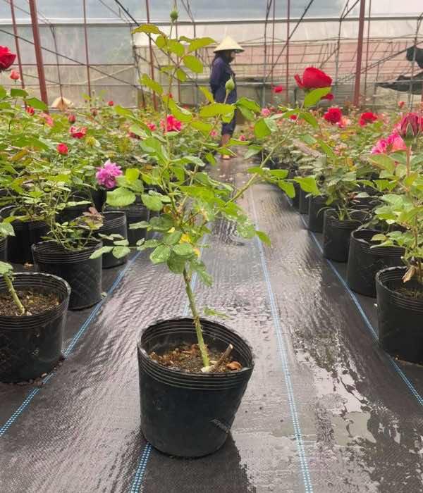 Vườn trồng hoa hồng